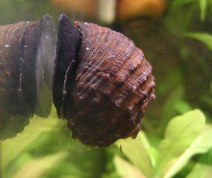 Картинки по запросу Paludomus loricatus